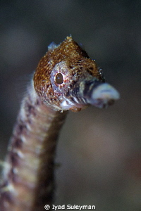 Pipefish Portrait by Iyad Suleyman 